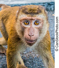 The Macaque Monkeys of Monkey Hill, Phuket. - Macaque ...