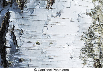 The macro shot of birch bark texture or background