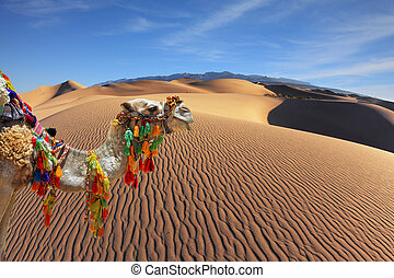 The magnificent Arabian camel in the desert sand. Dromedary...