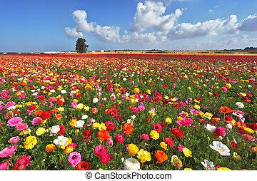 The magnificent garden buttercups. The boundless field,...