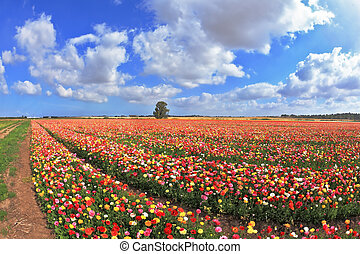 The magnificent garden buttercups