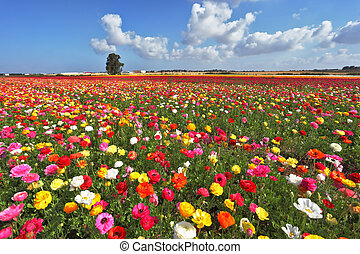 The magnificent garden buttercups. The boundless field, blooming colorful garden buttercups