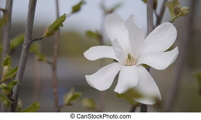 the Magnolia flower. Beautiful elegant flower. Gift for girl