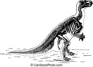 The main skeleton of Iguanodon, vintage engraving.