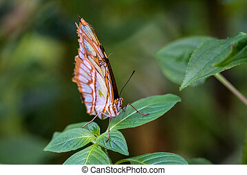 malachite butterfly, Siproeta stelenes is a neotropical brush-footed butterfly