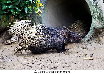 The Malayan porcupine (Hystrix brachyura) is a species of rodent in the family Hystricidae.