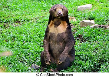 "The Malayan sun bear is also known as the ""honey bear"", which refers to its voracious appetite for honeycombs and honey."