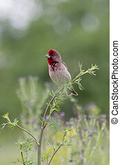 The male Common Rosefinch singing on a branch in the flood meadow grass.