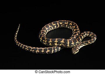 The male morelia spilota harrisoni python on black...