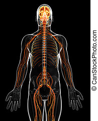 The male nervous system - 3d rendered illustration of the ...