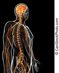 The male nervous system