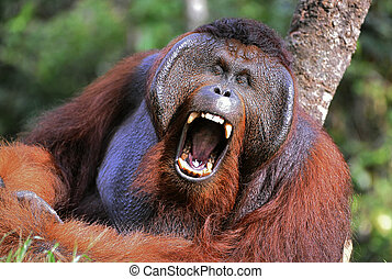 The male of the orangutan grimaces and yawns.. Portrait of...