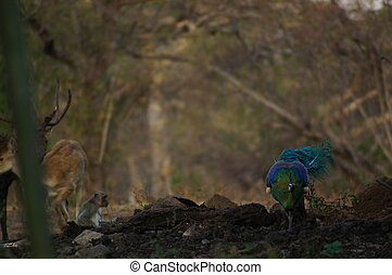 The male peacock is in the forest
