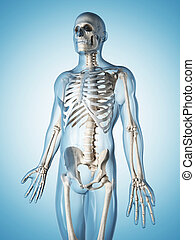 The male skeleton - 3d rendered illustration of the male...