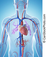 The male vascular system - 3d rendered illustration of the ...