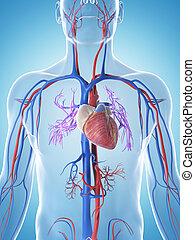 3d rendered illustration of the male vascular system