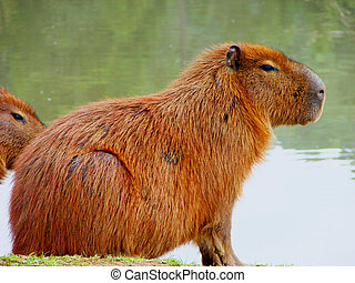 a kind of mammal from south of america