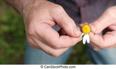 The man guesses on a chamomile on nature in summer. Tear off...