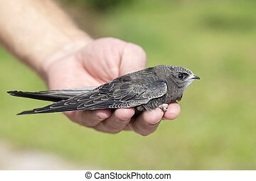 The man's hand holds the swifts found in order to let go. Newborn swift in human arms on a sunny summer day. Care of a small bird that fell out of the nest