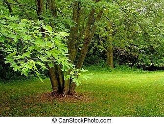 The Maples - Ontario, maple trees