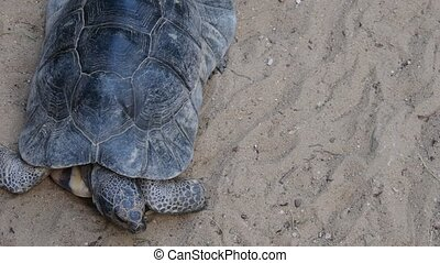 The marginated tortoise Testudo marginata is a species of...