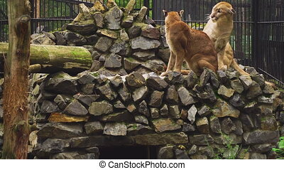 The marriage between the couple cougars - Puma male courting...