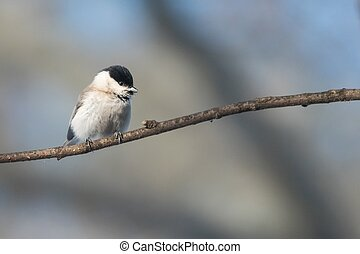 The marsh tit (Poecile palustris)