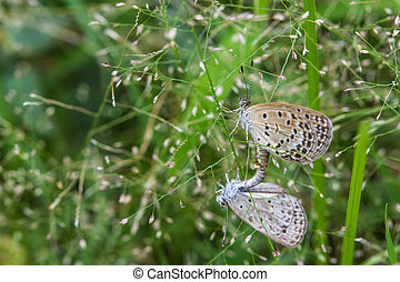 The mating butterflies on grass flowers