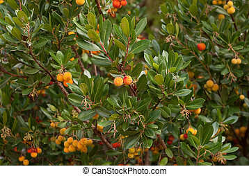 The mature, bright orange-red, fruits of the Strawberry Tree (Arbutus Unedo)