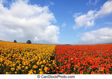 The meadows bright red and yellow flowers