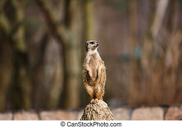The meerkat on a hill