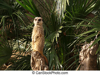 The meerkat or suricate (Suricata, suricatta), a small mammal, is a member of the mongoose family
