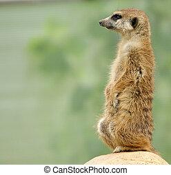 The meerkat or suricate (Suricata, suricatta), a small...