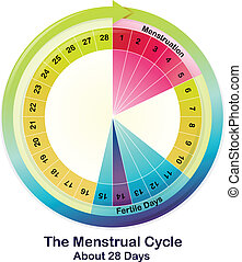 The Menstrual Cycle - Illustration of the Menstrual Cycle on...
