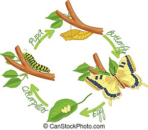 The metamorphosis of the butterfly ( egg, caterpillar, pupa...