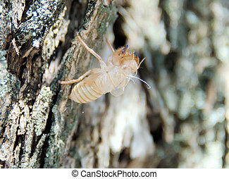 The metamorphosis of the cicada on a tree