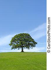 Oak tree in, full leaf standing alone in a field in summer against a blue sky.