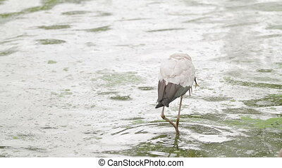 The milky stork (Mycteria cinerea). Big bird with yellow beak eats fish. Malaysia.