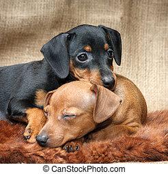 The Miniature Pinscher puppies, 2 months old
