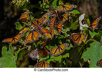 The Monarch Butterfly Migration