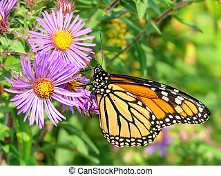 The Monarch butterfly on a purple wild aster
