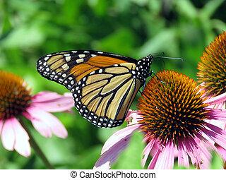 The Monarch butterfly on purple coneflower
