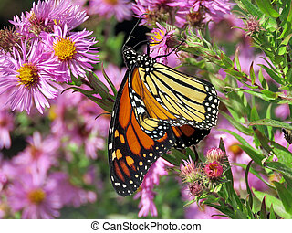 The Monarch butterfly on purple wild asters