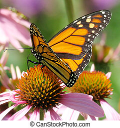 The Monarch butterfly on the purple coneflower