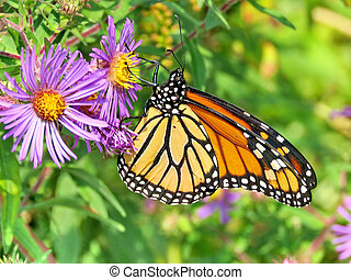 The Monarch butterfly on the purple wild aster