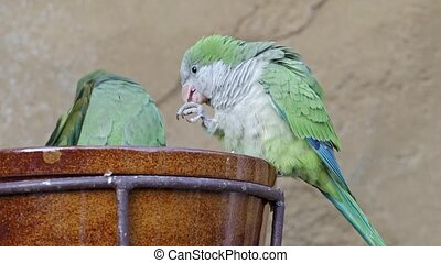 The monk budgerigar (Myiopsitta monachus), also known as the Quaker parrot sits on a bowl