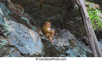 The monkey on the rock drinks water. animals in the wild....