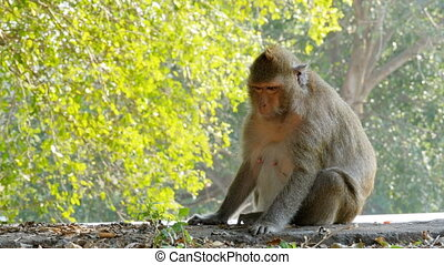 The monkey sits near the road in the national park. Thailand...