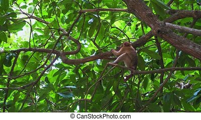 the monkey sits on a tree branch in the jungle. tropical forest of asia.