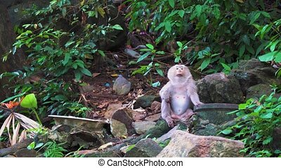 The monkey sits on the rocks in the rainforest and looks around